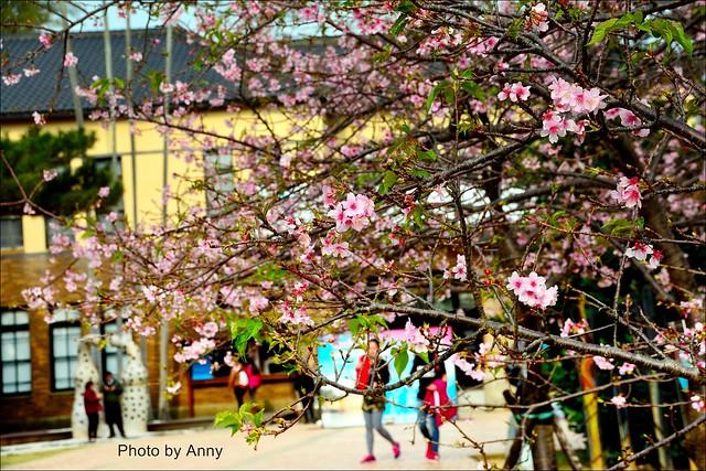 麗池櫻花4