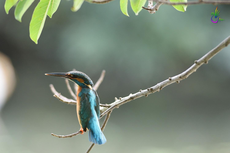 Common_Kingfisher_4708