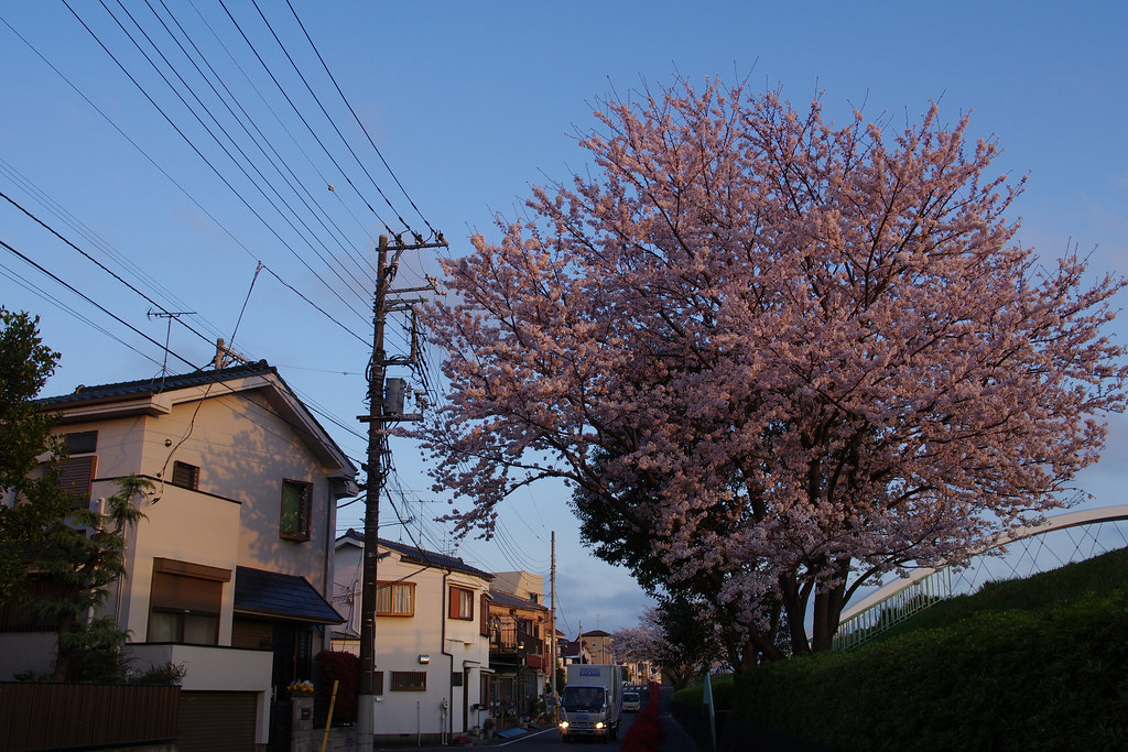 Cherry blossoms illuminated by the sunset