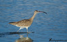 Whimbrel by Guillermo V Soto