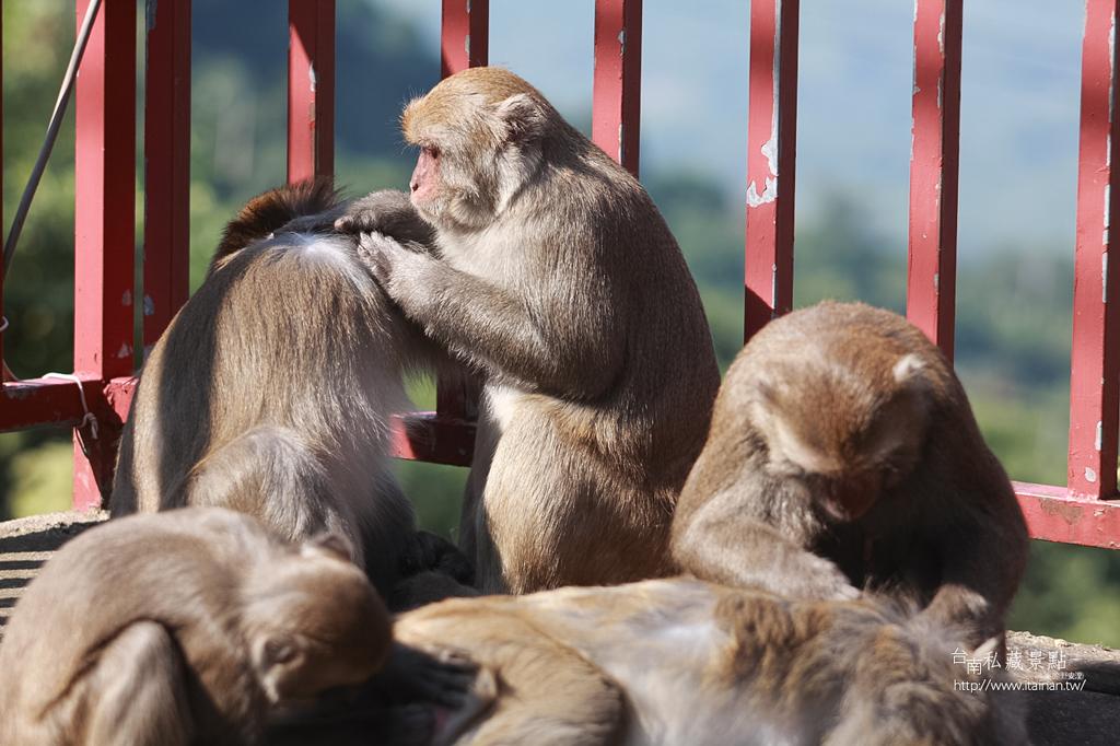 台灣獼猴 (13)