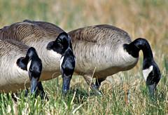Canada Geese, Centennial Lake, Maryland