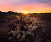 Cholla Cactus_Sunset