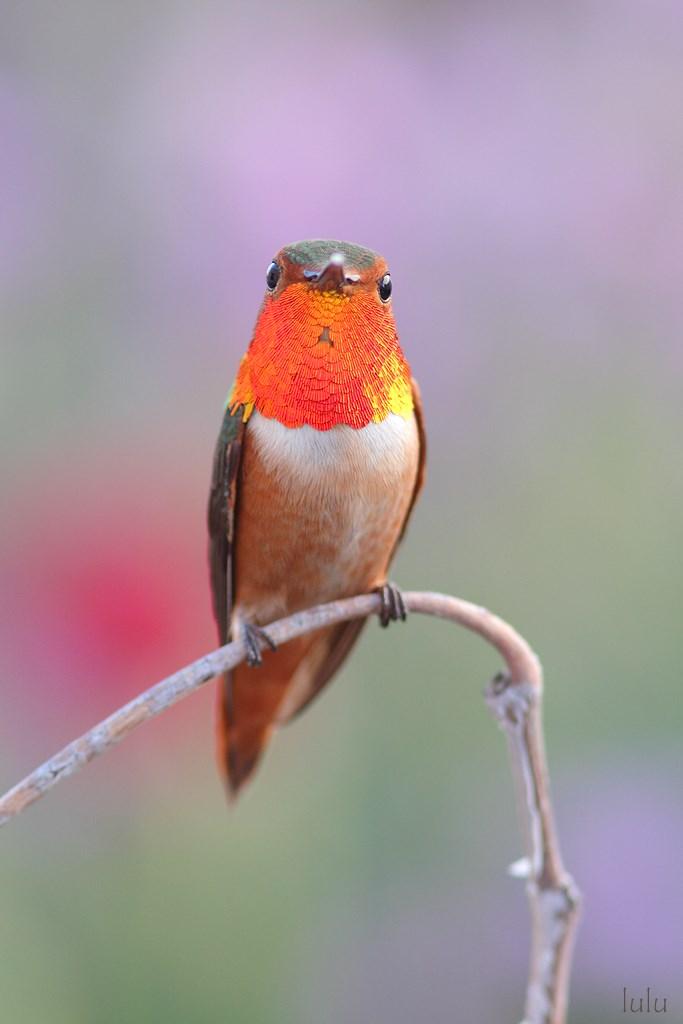 Allen's Hummingbird 220614