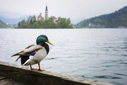 travel lake church water animal island duck europe day cloudy sony slovenia bled radovljica sonya7
