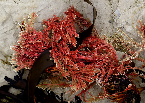 Calcareous red seaweed. FZ200