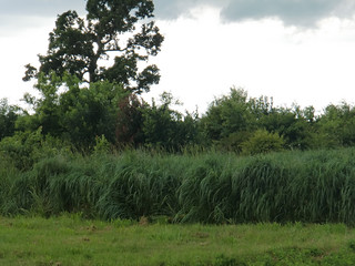 Picture of Switchgrass Riparian