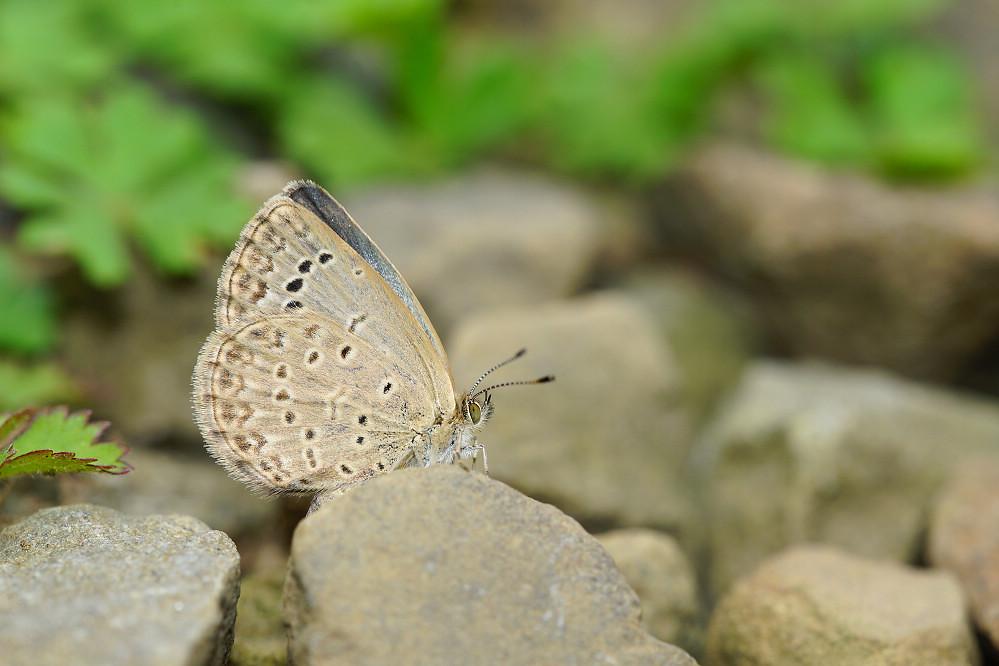 藍灰蝶屬藍灰蝶14S101