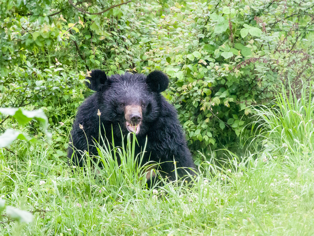 Himalayan Black Bear, Dachigam Rehabilitation Centre