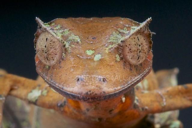 Satanic leaf-tailed gecko / Uroplatus phantasticus