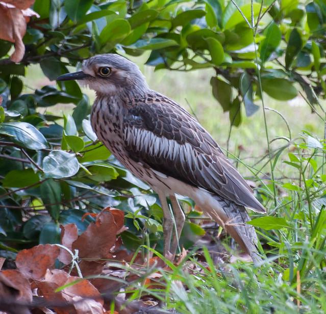 a70-bush stone curlew