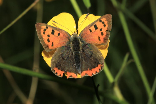 Small Copper 29710