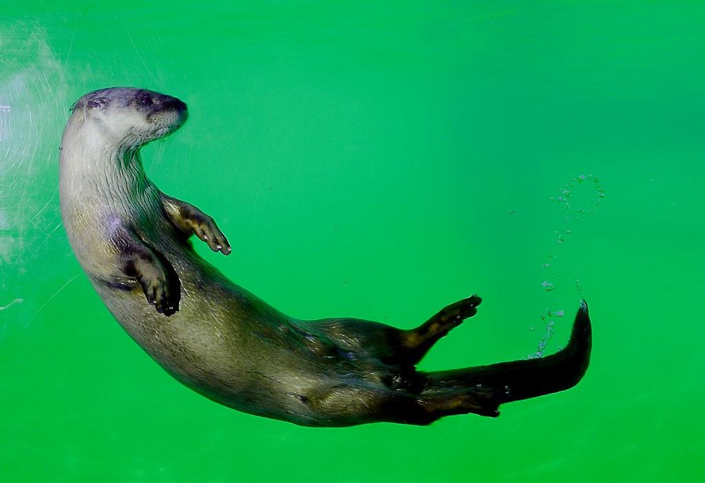 North American River Otter_25