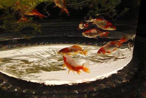 金魚(Goldfish)