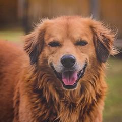 dog breed, animal, dog, leonberger, pet, mammal, nova scotia duck tolling retriever, golden retriever,
