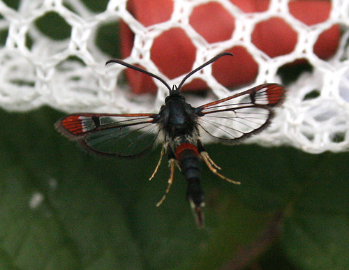 Red-tipped Clearwing Synanthedon formicaeformis Tophill Low NR, East Yorkshire July 2014