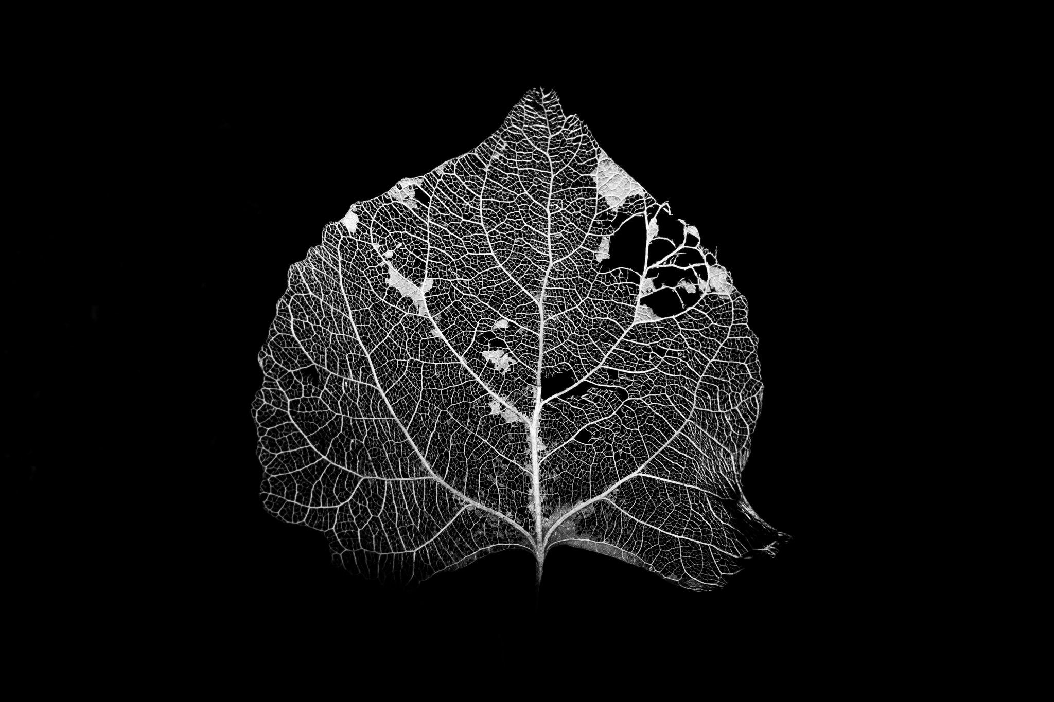 Decayed Aspen Leaf in B&W