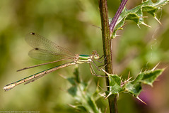 Southern Emerald (Lestes barbarus) - female