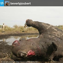 "#Repost from @beverlyjoubert - ""It's #rhinofriday. I don't like posting images like this but around 630 #rhinos have been poached so far this year in South Africa. While we work on solutions to the problem we're moving 100 of these animals away from #poac"