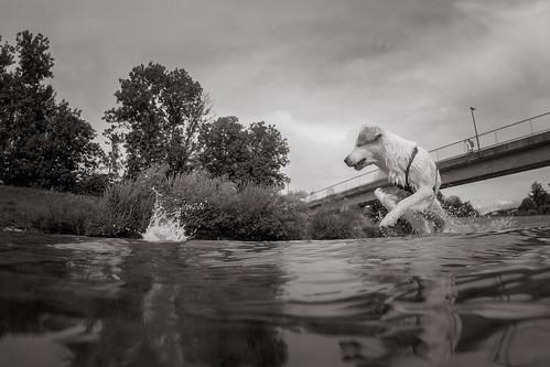 playing water goldenretriever river bayern deutschland splash kiki mangfall bruckmühl goprohero3