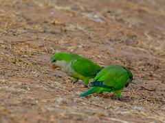 Monk parakeet-3