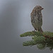Sparrow in Rain by Darryl Robertson