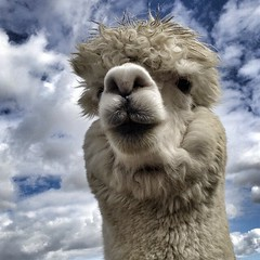 sheep(0.0), alpaca(1.0), animal(1.0), mammal(1.0), llama(1.0), fauna(1.0), camel(1.0),