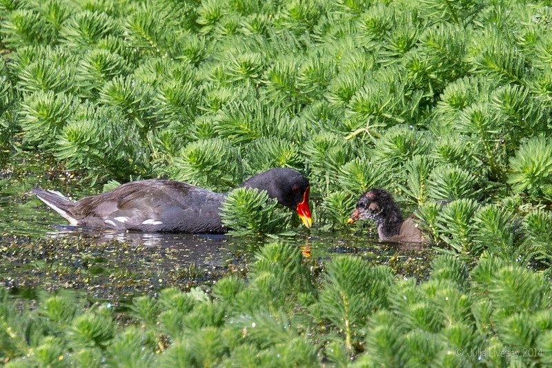 The moorhen chick is growing feathers!