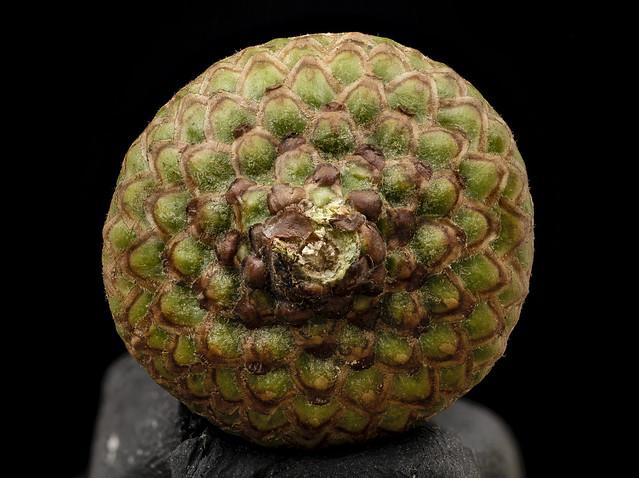 Quercus rubrum, acorn cap, ontario_2014-08-08-10.51.08 ZS PMax
