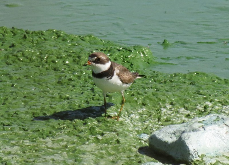 IMG_2765 Semipalmated Plover