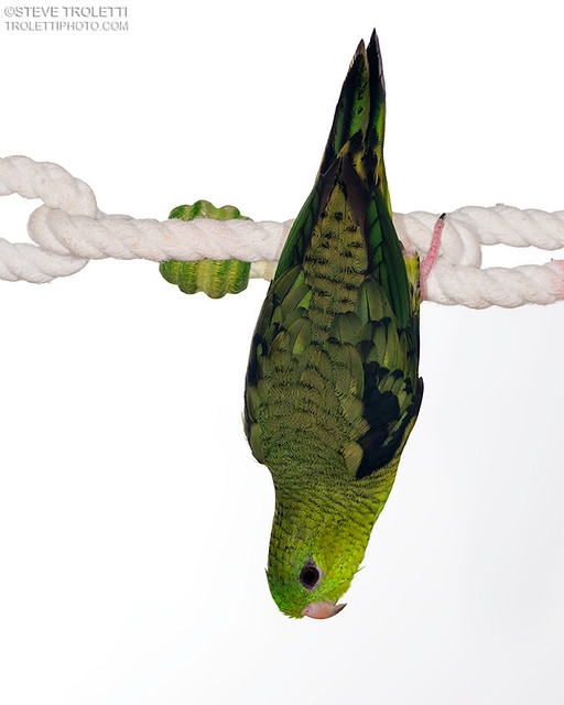 Pesto the Barred parakeet and Cross Polarization