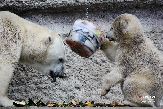 Eisbären Giovanna & Nobby 2014_09_10 445