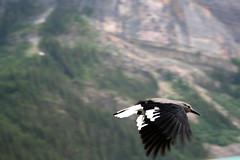 eagle(0.0), vulture(0.0), raven(0.0), crow-like bird(0.0), animal(1.0), wing(1.0), nature(1.0), fauna(1.0), bird(1.0), flight(1.0), wildlife(1.0), magpie(1.0),