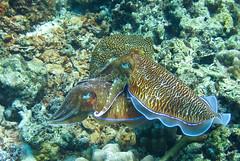 stony coral(0.0), coral reef(1.0), coral(1.0), organism(1.0), marine biology(1.0), invertebrate(1.0), marine invertebrates(1.0), fauna(1.0), natural environment(1.0), cuttlefish(1.0), underwater(1.0), reef(1.0),