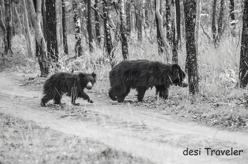 Sloth Bear with cub Satpura National Park
