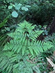 leaf, plant, flora, green, natural environment, ostrich fern, ferns and horsetails, jungle, vegetation,