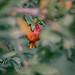 Pomegranate by MahshidSohi