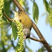 Tennessee Warbler (TEWA) ( horizontal)