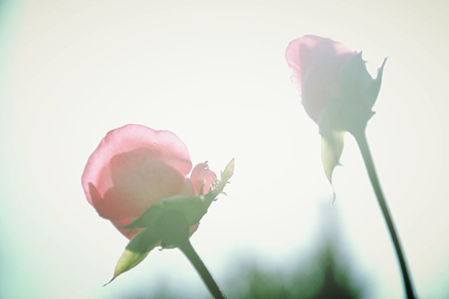 backlight roses