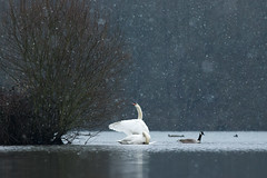 HolderSwans in the Snow