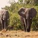 Elephants by Thomas Retterath
