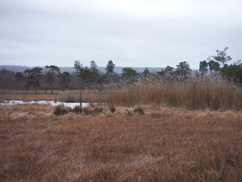 Reeds in Pudmore Pond Area, Thursley Common