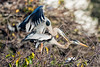 Great Blue Herons mating