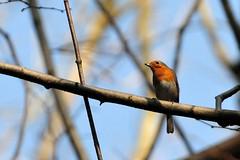Rouge-gorge pensif - Medidative Robin