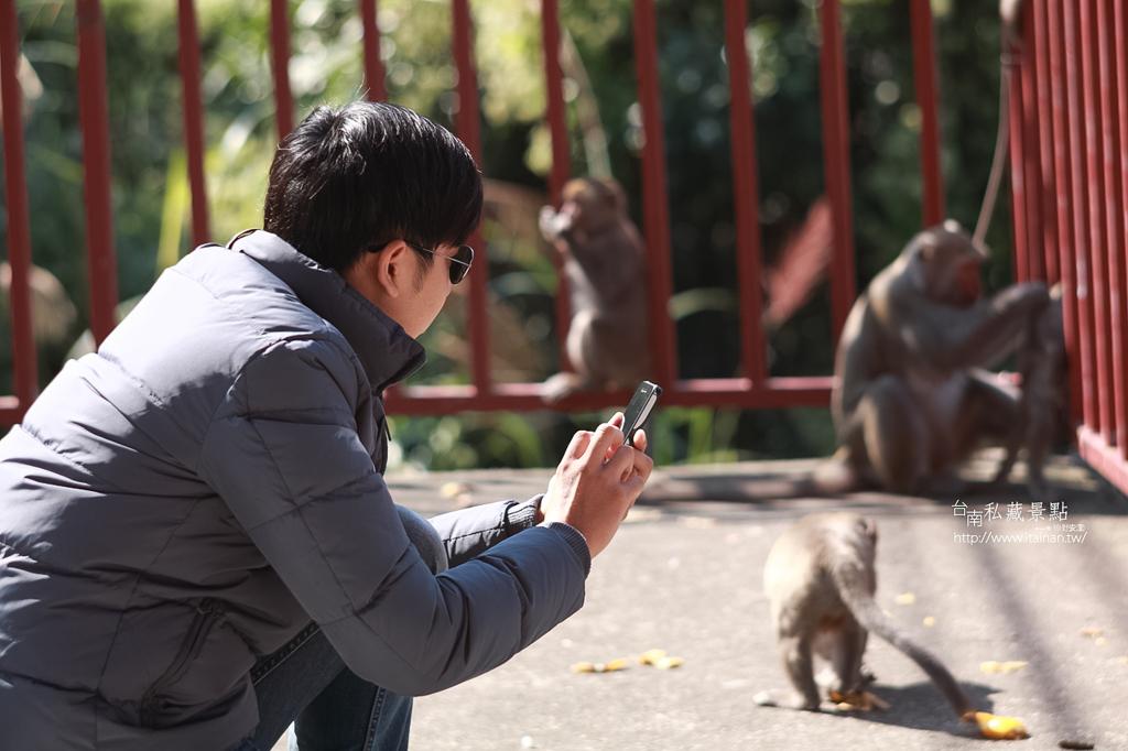台灣獼猴 (3)