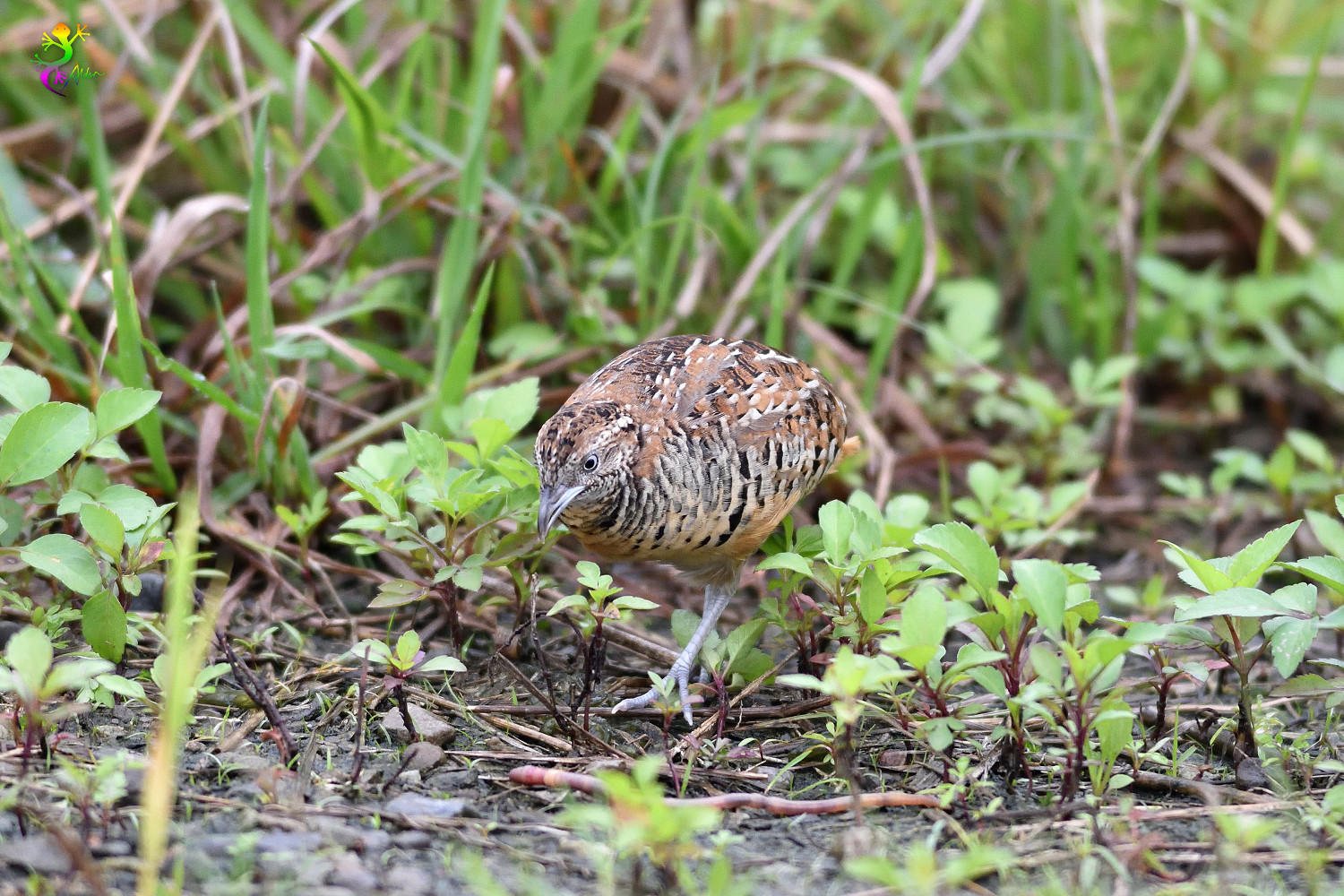 Barred_Buttonquail_9171