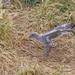Entraînement du poussin goéland argenté (Larus argentatus)