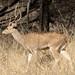 Spotted deer-1