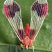 derbid planthopper by myriorama