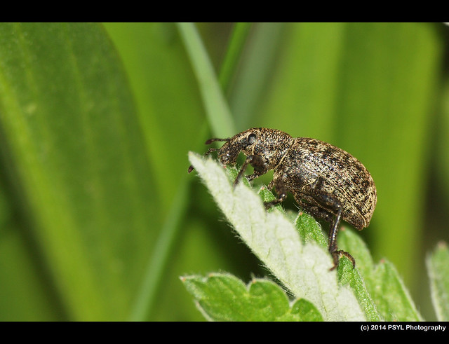 Unknown weevil (Superfamily Curculionoidea)
